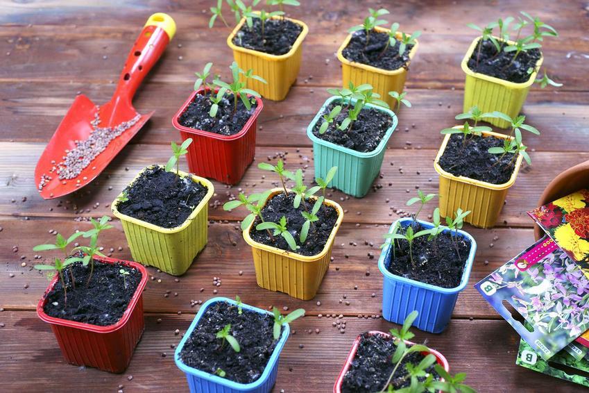 Wysiew aksamitki do doniczek i do gruntu oraz kwiaty aksamitki czy też kwiaty turki w doniczce lub w ogrodzie krok po kroku