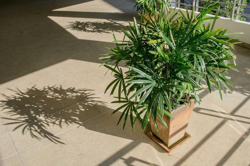 Bambus w doniczce, czyli sadzonki bambusa oraz uprawa bambusa w doniczkach w domu, na balkonach i tarasach - porady