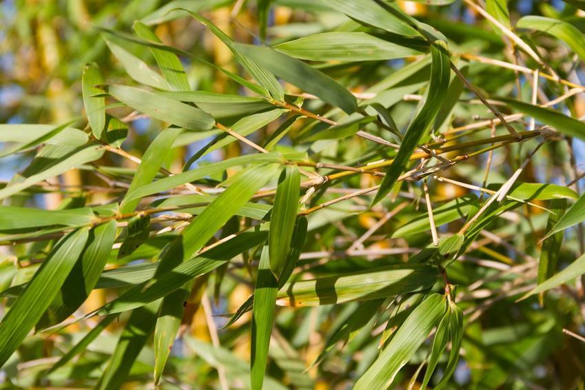 Liście bambusa złocistego, , czyli uprawa bambusa w doniczkach w warunkach domowych, na balkonach i tarasach - krok po kroku