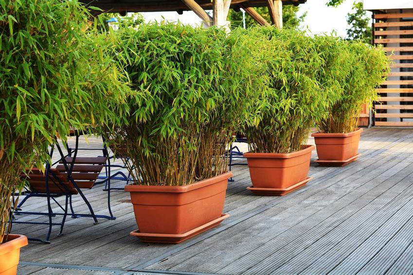 Bambus i uprawa bambusa w Polsce, oraz informacje, jak szybko rośnie bambus, a także bambus ogrodowy i jego odmiany