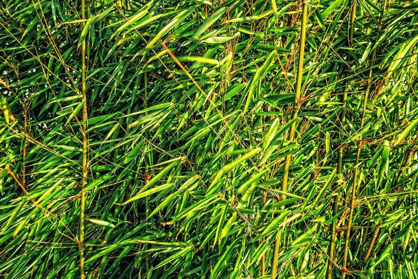 Trawa bambusowa wysoka, a także hakonechloa, aureola czy bambus ozdobny w ogrodzie oraz ich wymagania i pielęgnacja - porady