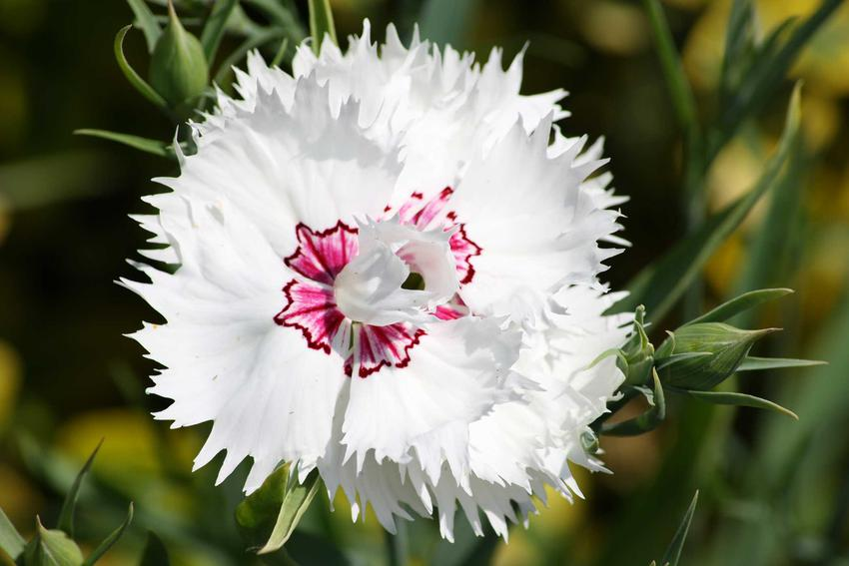 Goździk pierzasty w ogrodzie z łaciny Dianthus plumarius w czasie kwitnienia lub też goździk postrzępiony i jego uprawa