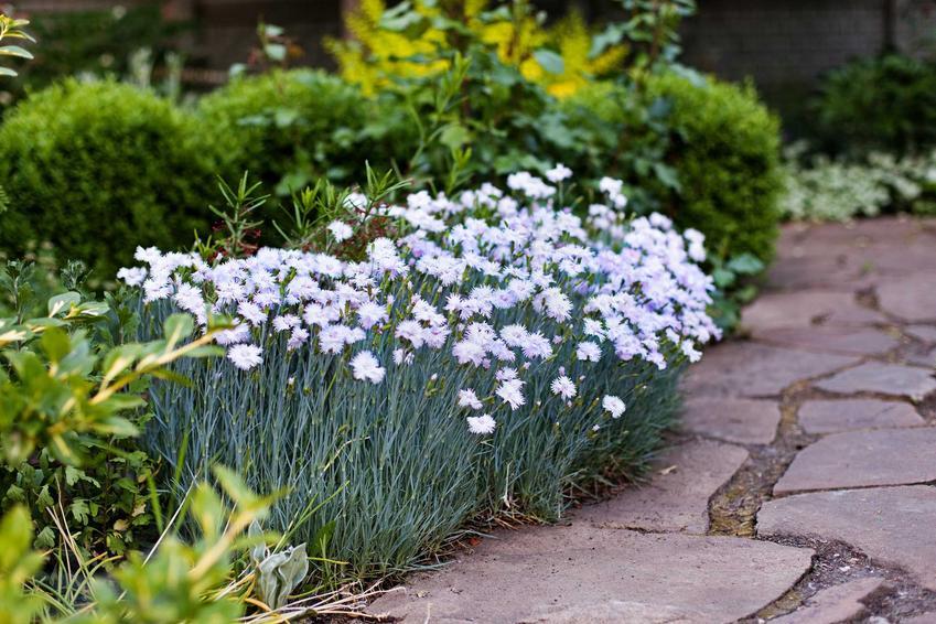 Goździk pierzasty Dianthus plumarius w czasie kwitnienia lub też goździk postrzępiony w ogrodzie i jego uprawa