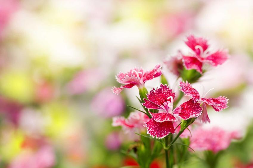 Goździk chiński z łaciny Dianthus chinensis w czasie kwitnienia w ogrodzie oraz jego uprawa i porady, jak uprawiać goździki