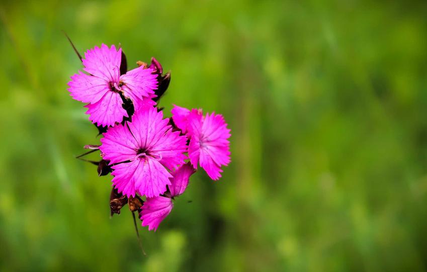Goździk kartuzek w czasie kwitnienia oraz jego wysiew, rozmnażanie i ciekawe goździki wieloletnie do uprawy w ogrodzie
