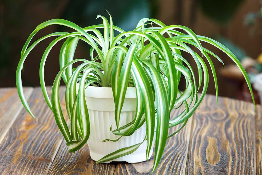 Zielistka z łaciny Chlorophytum comosum, czyli zielistka Sternberga i jej uprawa oraz pielęgnacja w doniczce