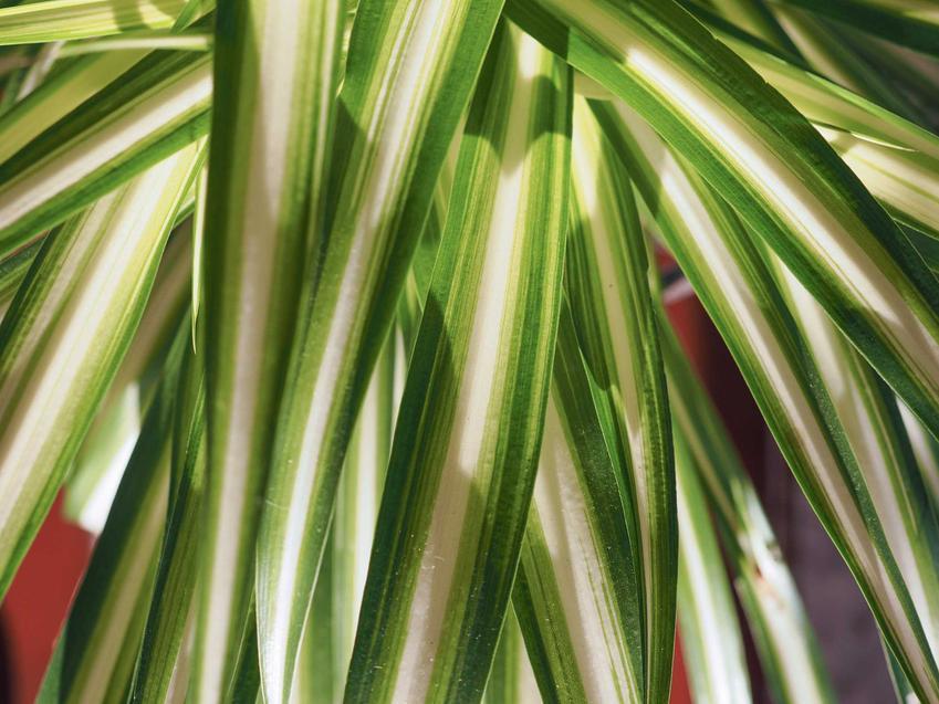Liście zielistki, czyli zielistka Sternberga z łaciny Chlorophytum comosum ocean, uprawa oraz pielęgnacja - krok po kroku