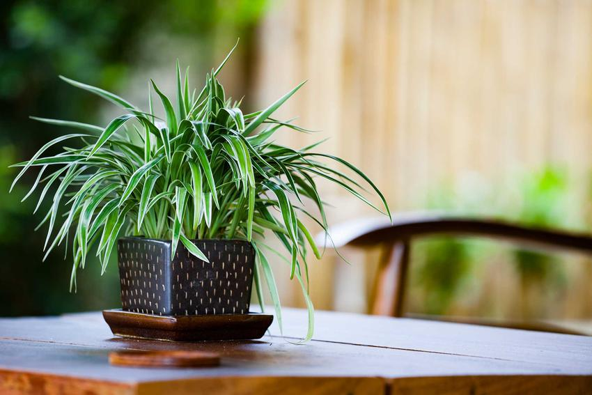 Zielistka Sternberga Chlorophytum comosum ocean, czyli kwiat trawka i warunki jego uprawa, sadzenie, rozmnażanie oraz pielęgnacja