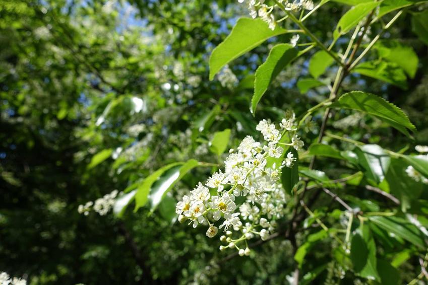 Czeremcha amerykańska w casie kwitnienia kwiatów oraz zastosowanie czeremchy amerykańskiej, najlepsze przepisy i przetwory