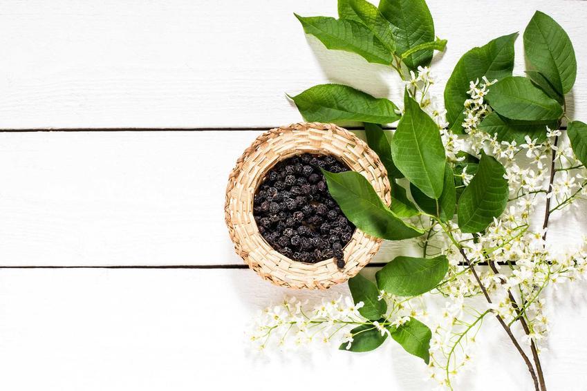 Suszona czeremcha zwyczajna albo czeremcha pospolita w czasie owocowania, a także jej owoce, uprawa i zastosowanie