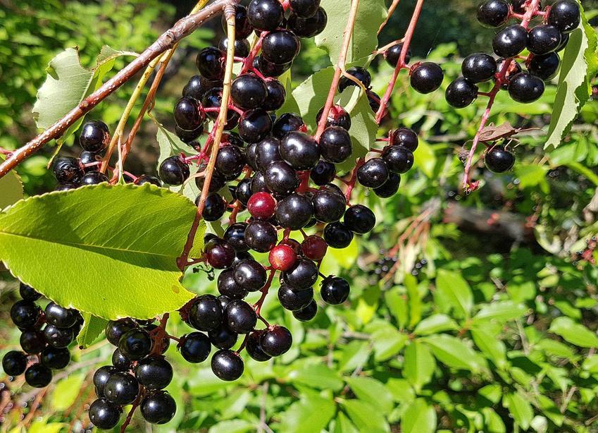 Czeremcha zwyczajna lub czeremcha pospolita w czasie owocowania orraz jej uprawa i zastosowanie owoców w przetworach