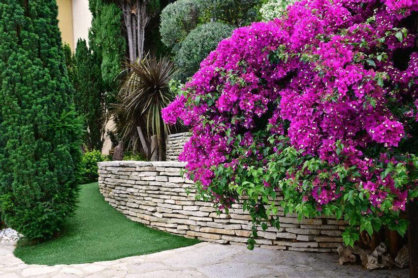 Bugenwilla w czasie obfitego kwitnienia w ogrodzie, a także uprawa bugenwilli oraz pielęgnacja bugenwilli, podlewanie i nawożenie