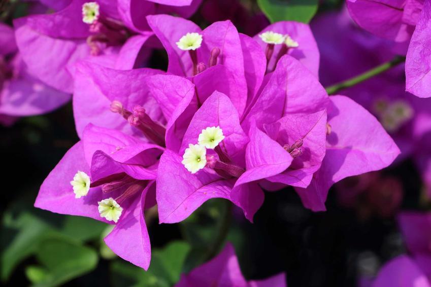 Bugenwilla w ogrodzie i zbliżenie na jej kwiaty, a także uprawa bugenwilli oraz pielęgnacja, nawożenie i podlewanie bugenwilli