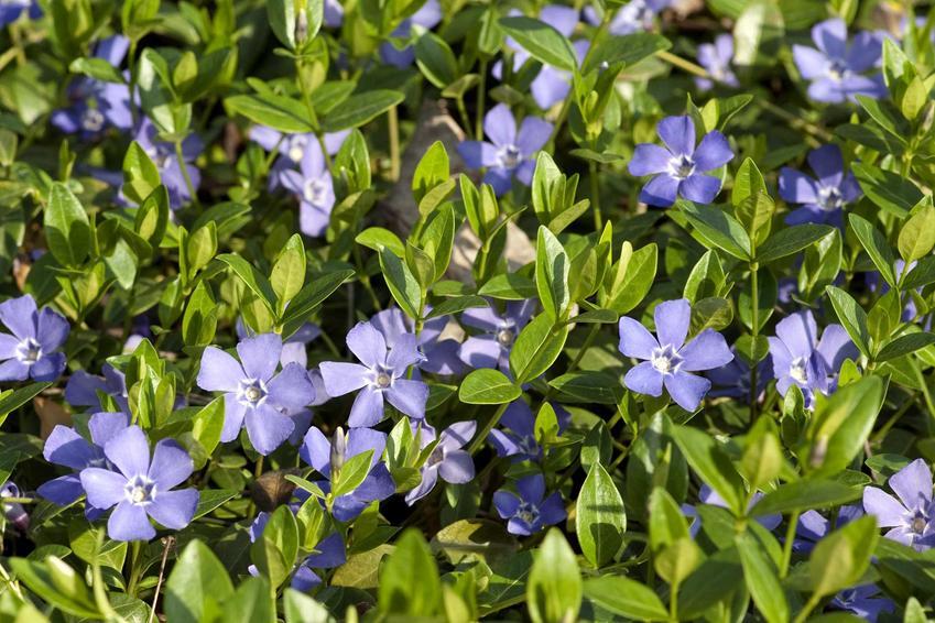 Barwinek pospolity z łaciny vinca minor w ogrodzie w czasie kwitnienia oraz jego wymagania i zastosowanie