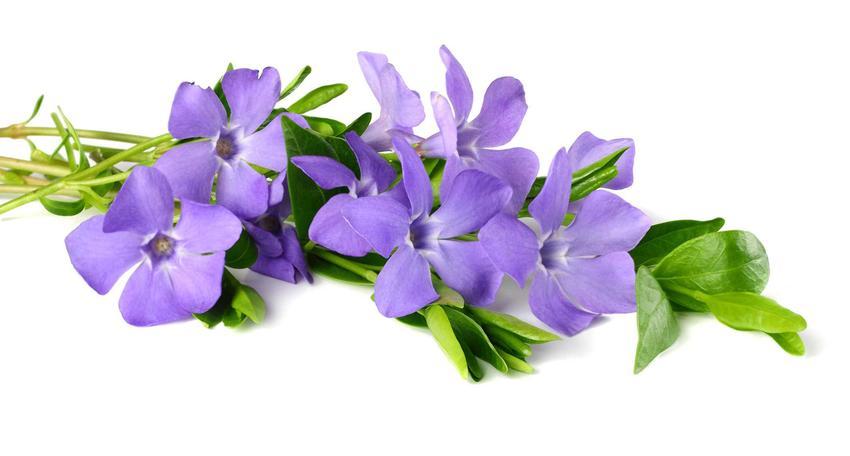 Barwinek pospolity vinca minor i jego kwiaty na białym tle oraz jego wymagania, zastosowanie i sadzenie w ogrodzie