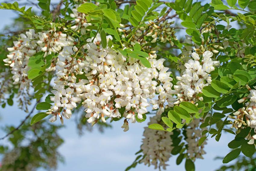 Robinia akacjowa w czasie kwitnienia w ogrodzie lub robinia biała czy grochodrzew akacjowy i jego uprawa i pielęgnacja