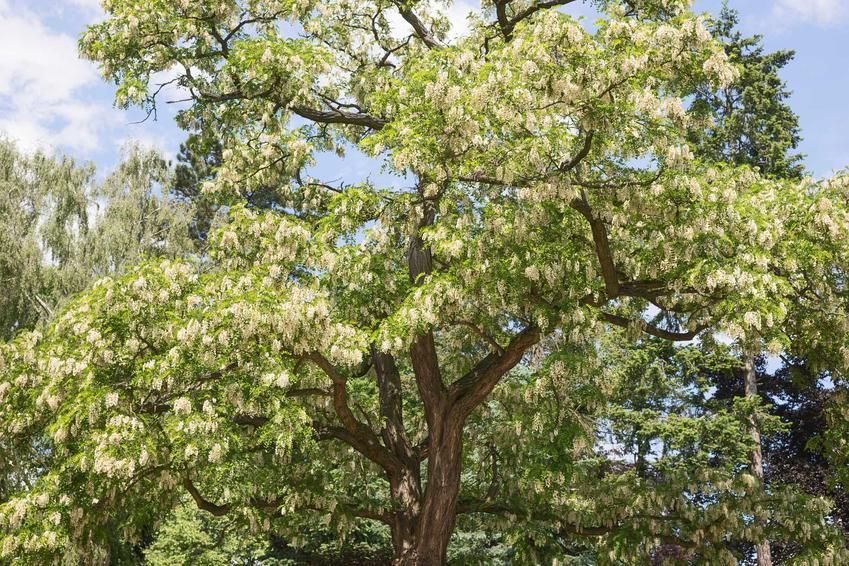 Robinia akacjowa lub robinia biała czy też grochodrzew akacjowy w czasie kwitnienia i jego uprawa i pielęgnacja