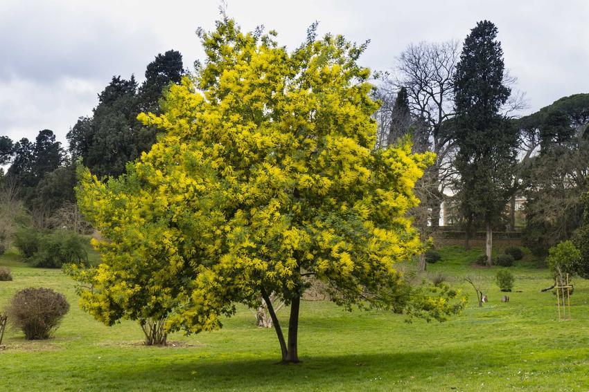 Akacja srebrzysta w czasie kwitnienia w ogrodzie i uprawa akacji srebrzystej oraz nasiona akacji do wysiewannia małych drzewek
