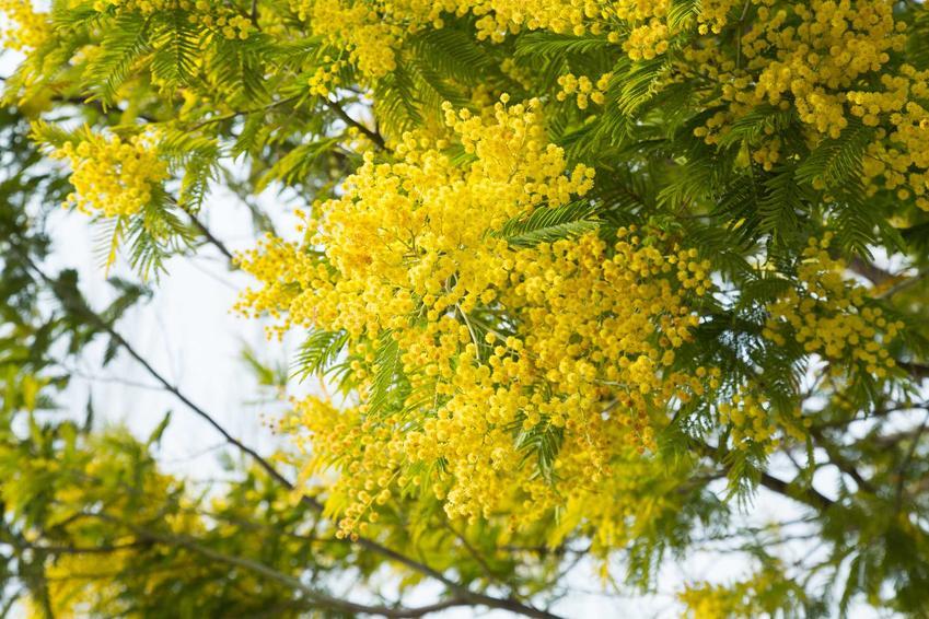 Akacja srebrzysta w czasie kwitnienia i zbliżenie na kwiaty, a także uprawa akacji srebrzystej oraz nasiona akacji