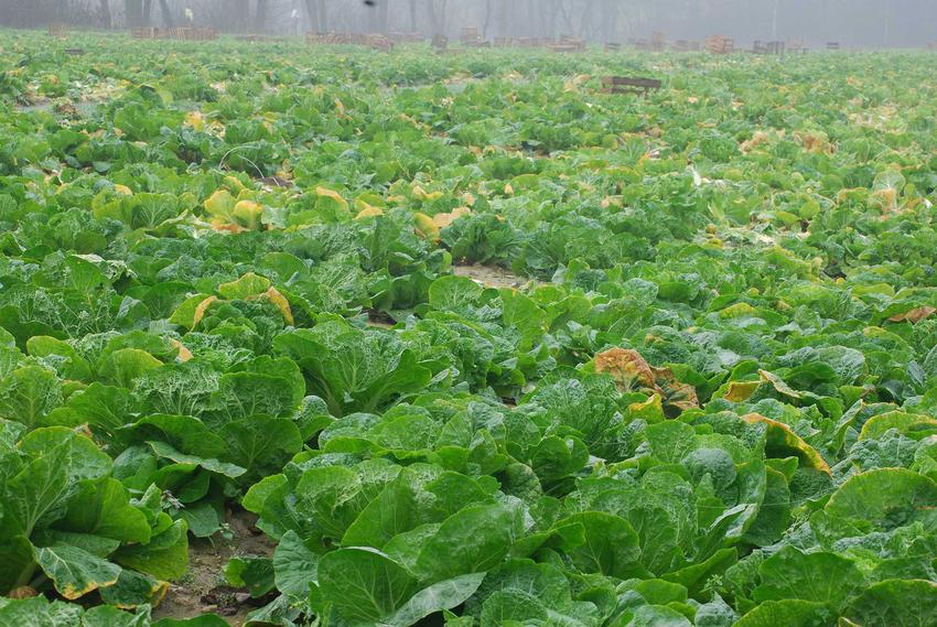 Kapusta pekińska i jej uprawa na działce czy też w gruncie, czyli hodowla kapusty pekińskiej krok po kroku