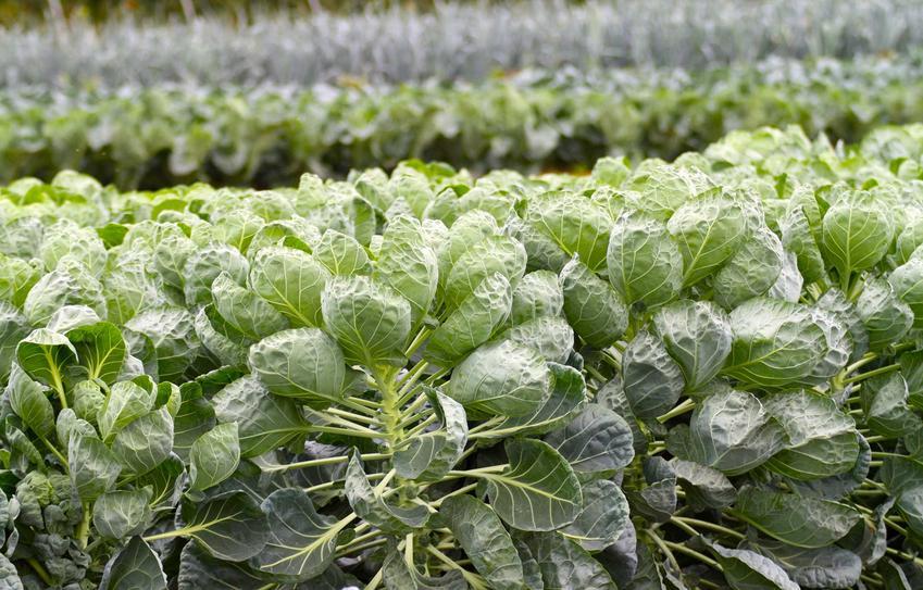 Brukselka, czyli kapusta brukselska oraz uprawa brukselki, sadzonki i rozsada brukselki w ogrodzie krok po kroku