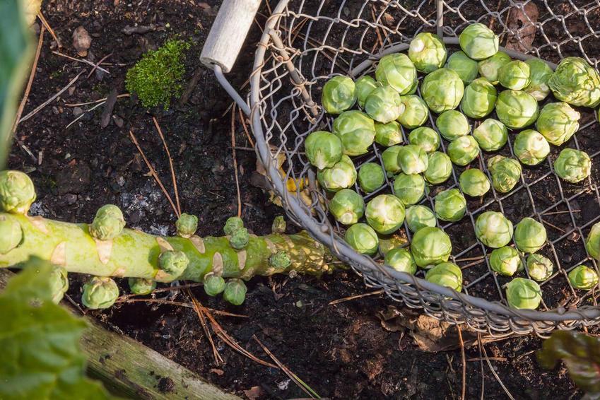 Brukselka podczas zbiorów, czyli kapusta brukselska oraz uprawa brukselki i jej sadzonki czy rozsada