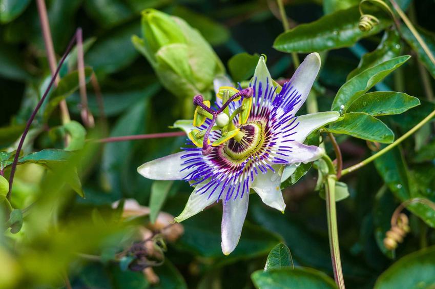 Passiflora czy też kwiat męczennica w czasie kwitnienia oraz jej pielęgnacja i uprawa krok po kroku na rabatach w ogrodzie