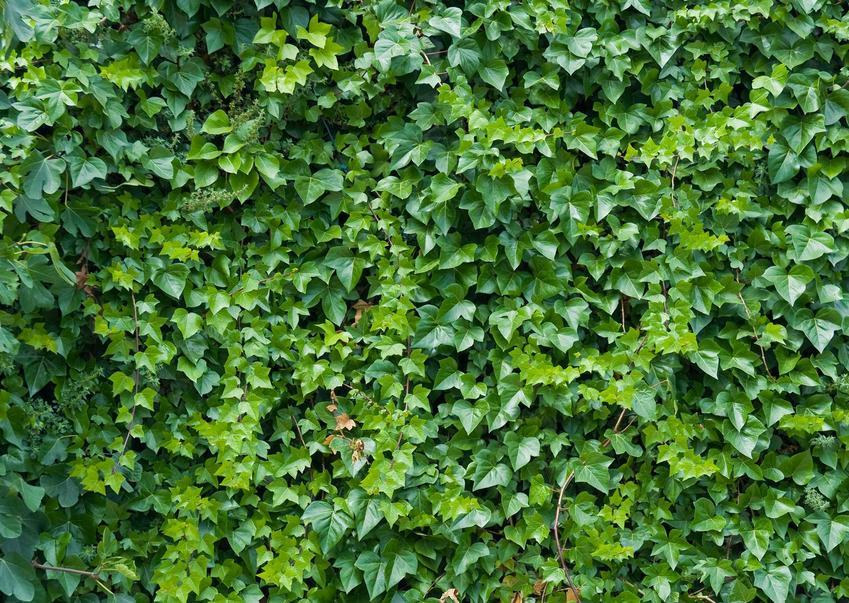 Bluszcz pospolity i inne pnącza zimozielone, czyli polecane rośliny pnące zimozielone do ogrodu oraz ich pielęgnacja