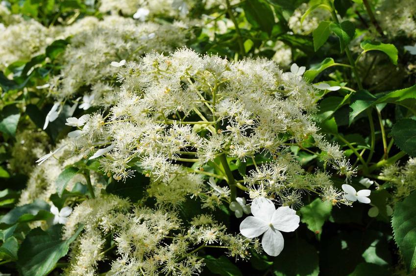 Hortensja pnąca i inne pnącza kwitnące, czyli polecane rośliny pnące do ogrodu, najpiękniejsze odmiany i gatunki