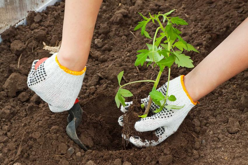 Wysiew pomidorów w domu i porady, kiedy siać pomidory i  pomidory szklarniowe, czyli sadzenie pomidorów z nasion