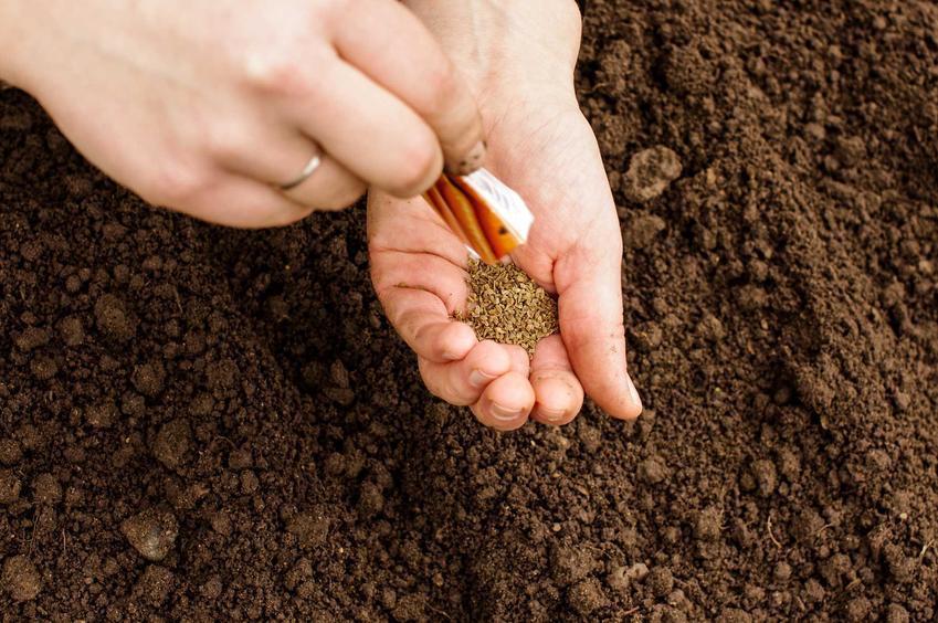 Nasiona marchwi na dłoni oraz kiedy siać warzywa i kiedy wysiewać warzywa do gruntu, czyli dni wysiewu warzyw