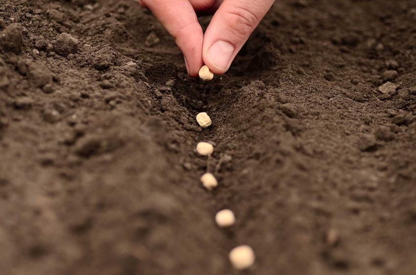 Nasiona oraz porady, kiedy siać warzywa i kiedy wysiewać warzywa do gruntu, czyli kalendarz i dni wysiewu warzyw