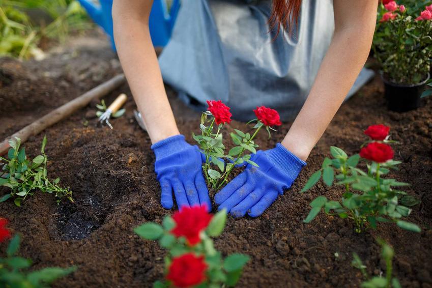 Sadzenie róż w ogrodzie przez kobietę oraz porady, kiedy sadzić róże i jak sadzić róże krok po kroku, najlepsze terminy do sadzenia róż
