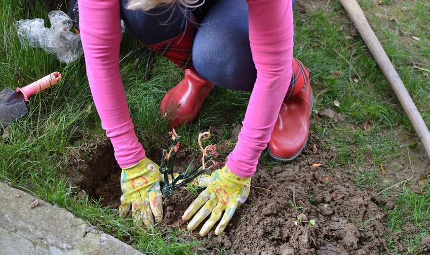 Sadzenie róży do gruntu w ogrodzie oraz porady, kiedy sadzić róże, najlepszy termin do sadzenia i jak sadzić róże różnych gatunków