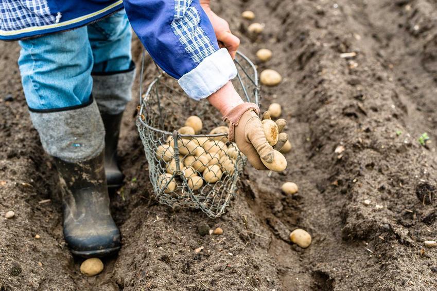 Sadzenie ziemniaków przez mężczyznę, czyli informacje kiedy sadzić ziemniaki i sadzenie kartofli krok po kroku