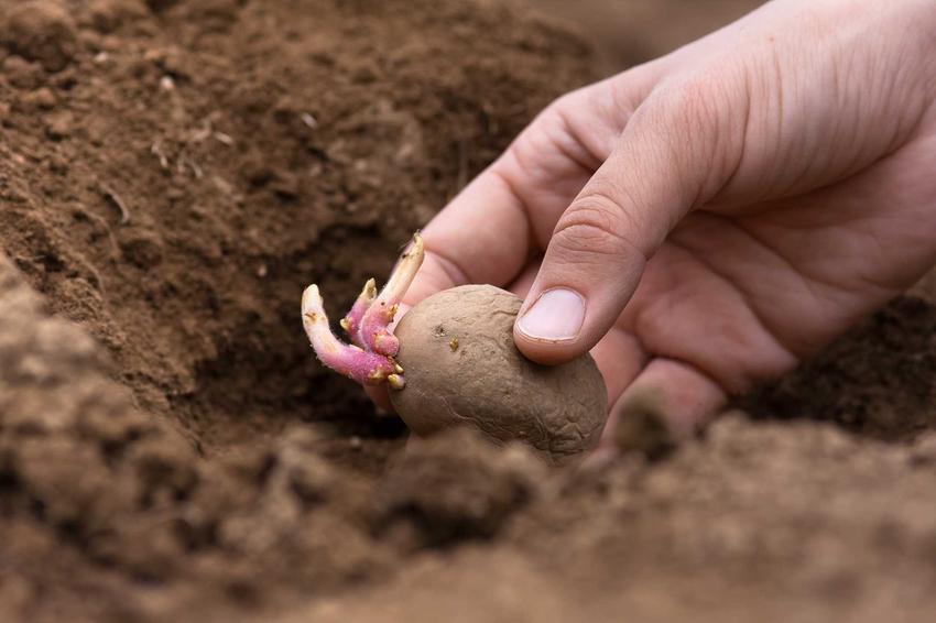 Sadzenie ziemniaków, czyli porady kiedy sadzić ziemniaki i sadzenie kartofli w ogródku krok po kroku, pielęgnacja i uprawa