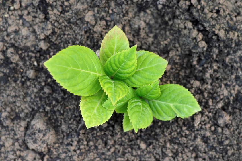Sadzonka hortensji i sadzenie hortensji, a także porady kiedy sadzić hortensje, również hortensje bukietowe, ogrodowe i drzewiaste