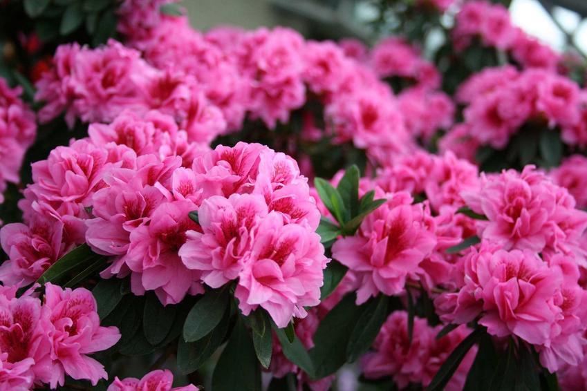 Azalia ogrodowa lub rododendron w czasie kwitnienia oraz porady kiedy i jak sadzić rododendrony