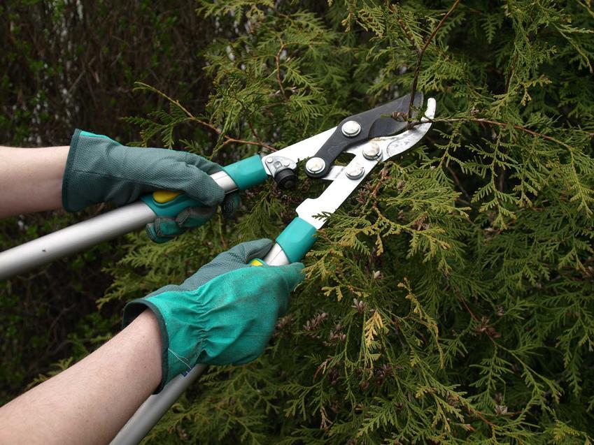 Przycinanie tui ogrodzie, a także porady jak sadzić tuje szmaragd na żywopłot, rozstawa w czasie sadzenia oraz pielęgnacja tui