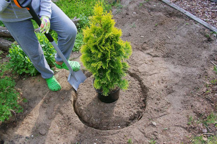 Sadzenie tui w ogrodzie oraz porady jak sadzić tuje szmaragd na żywopłot i w jakich odstępach, rozstawa oraz miejsce