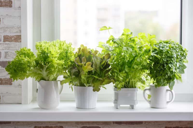 Zioła w białych pojemnikach na parapecie oraz porady na temat sadzenia ziół krok po kroku, czyli kiedy i jak sadzić zioła