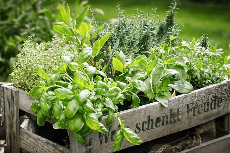 Zioła w skrzynce gotowe do posadzenia, czyli sadzenia ziół do gruntu w ogrodzie lub do doniczek, a także uprawa ziół w ogrodzie