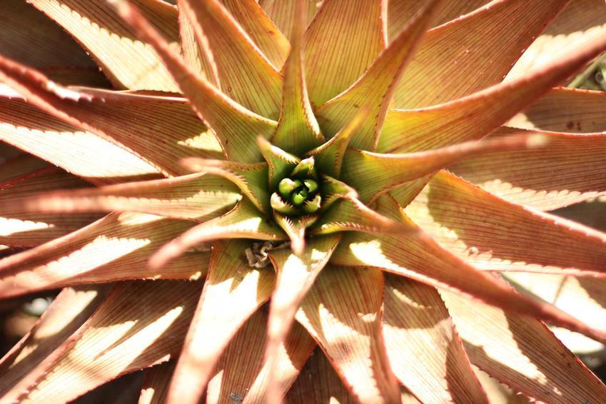 Ananas w doniczce, czyli sadzenie ananasa w domu i porady jak zasadzić ananasa w doniczce i uprawiać go na parapecie