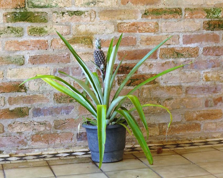 Ananas w doniczce, czyli sadzenie ananasa w domu i porady jak zasadzić ananasa i uprawiać go na parapecie