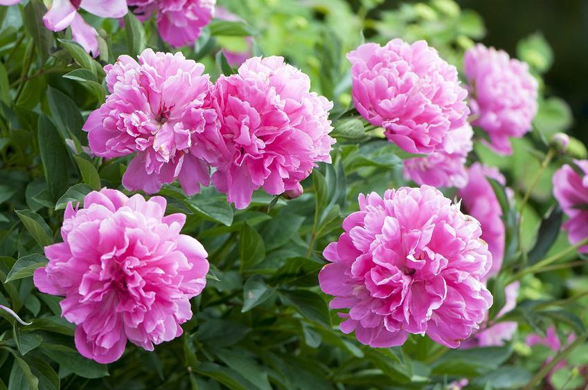 Piwonia w czasie kwitnienia w ogrodzie, a także sadzenie piwoni oraz porady kiedy sadzić piwonie do gruntu