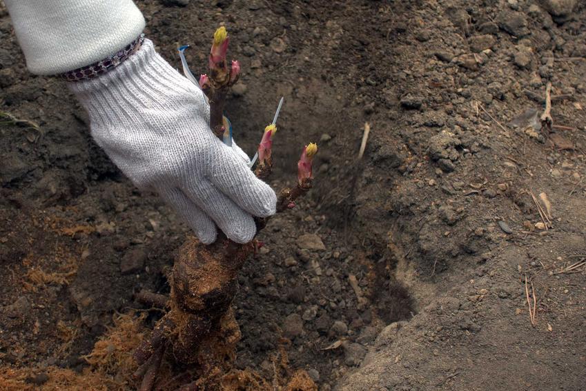 Sadzenie piwoni oraz porady kiedy sadzić piwonie, a także uprawa piwoni w ogrodzie krok po kroku, pielęgnacja i podlewanie
