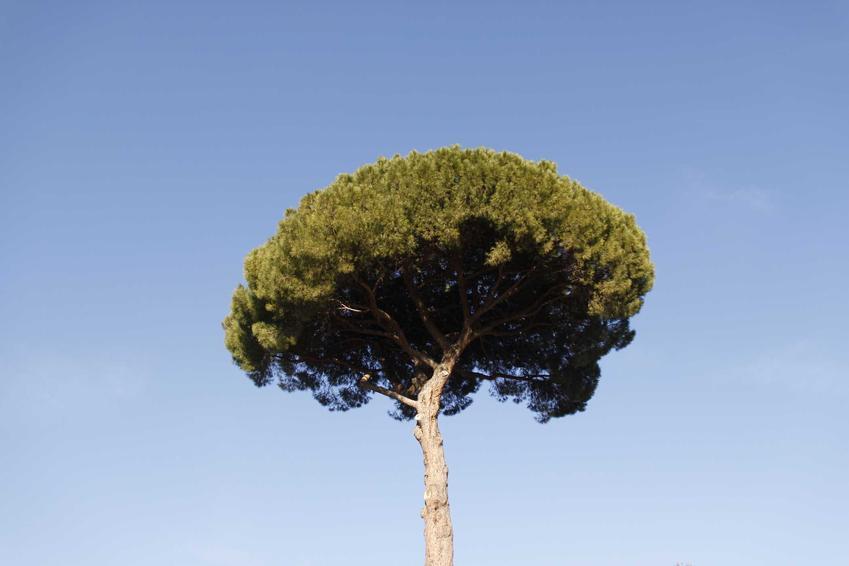 Sosna pinia na tle błekitnego nieba oraz jej uprawa i pielęgnacja w Polsce, sadzenie, sadzonki i wymagania roślin
