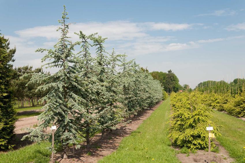 Choina kanadyjska w szpalerze, czy też jodła lub sosna kanadyjska i jej odmiany oraz wymagania i sadzenie w ogrodzie