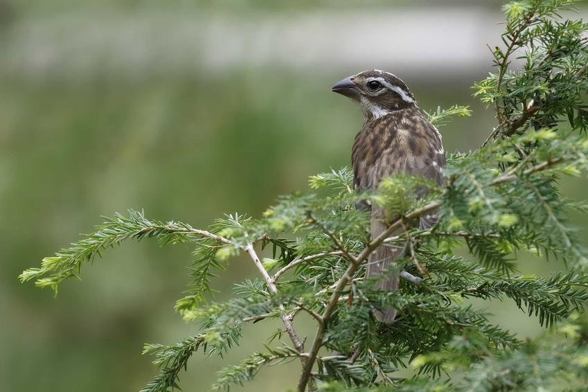 Choina kanadyjska lub sosna kanadyjska i ptak na gałęzi oraz najpiękniejsze odmiany, sadzenie i wymagania
