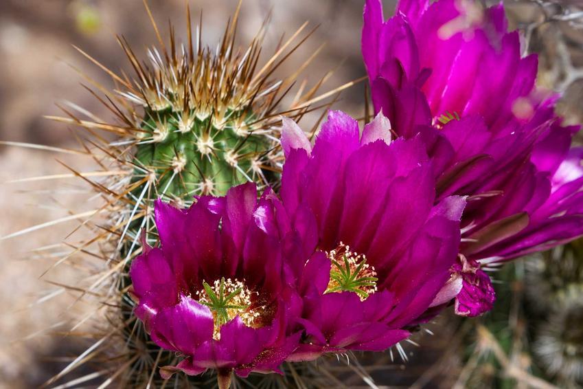 Kwitnące kaktusy doniczkowe oraz kaktusy doniczkowe i rodzaje kaktusów doniczkowych, sadzenie oraz pielęgnacja